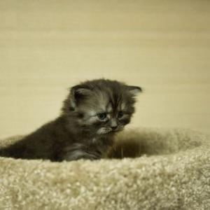 スコティッシュフォールド子猫里親募集中 おすすめ長毛大阪京都兵庫奈良和歌山 ペットショップ業許可