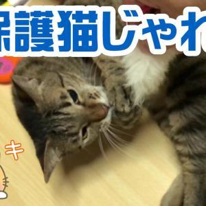 元保護猫キジトラのゼロがじゃれてるとこの面白いねこ動画
