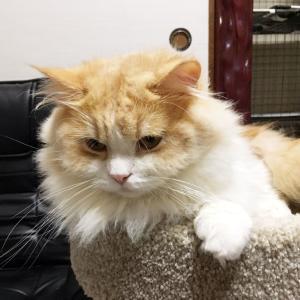 親猫紹介【レイ】 スコティッシュフォールド オス ロング 立ち耳 猫の赤ちゃん子猫里親募集中