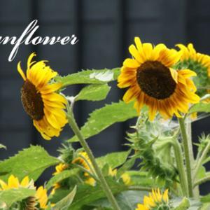 8月の花・・・ひまわり(向日葵)(Sunflower)