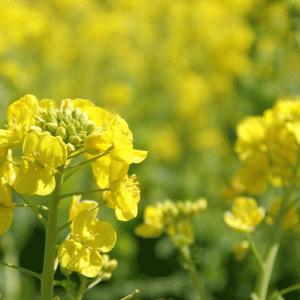 2021渥美半島(愛知県)は菜の花でいっぱい・・・