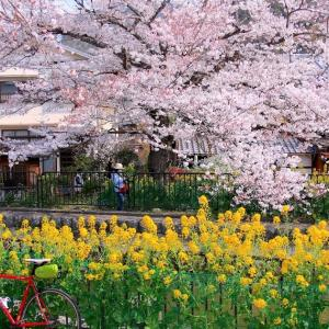 【2019年4月桜ライド】春の京都③桜の穴場名所をゆるゆると!京都再訪ポタリング