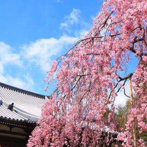 【写真紀行】春の京都!垂れ桜巡り①圧巻の待賢門院桜(天龍寺~法金剛院)