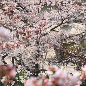 【2019年3月】春の京都!垂れ桜巡り②満開の京都御苑とグルメ(メメントモリ・猪一)