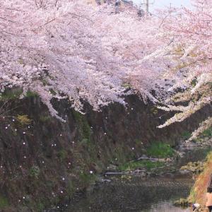 【写真館】桜舞う春爛漫の「山崎川 四季の道」!ファインダーを通して見る世界(4/8追記)