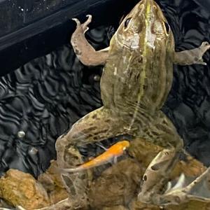 無事カエル この大きさならメダカ喰わん?