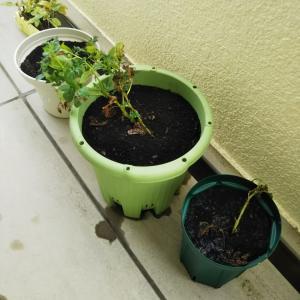 アパート菜園   その⑦