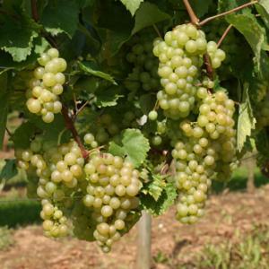 Gouais グエは現存するワイン用白葡萄