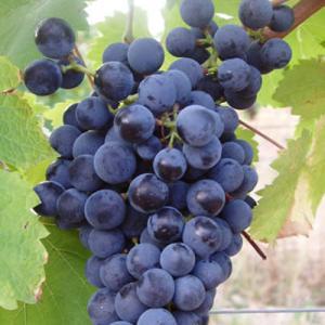 AOC Blaye 昔は赤と白が存在したが今は赤ワインだけ