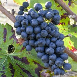 Pinot noir はサヴァニャン・ブランの子孫である続き