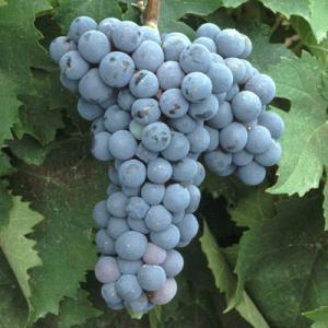 Enfariné noir フランスで栽培される葡萄