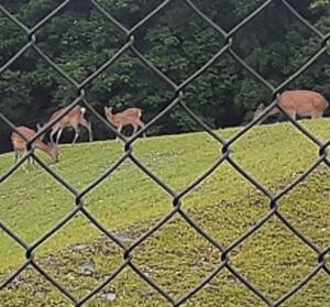 日吉ダムへ、帰り道鹿の親子と遭遇