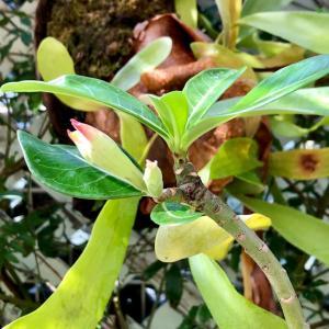 咲きそなアデニウムとかわいいハナキリン