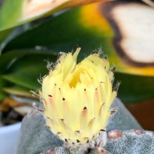 ランポー玉、三たび開花