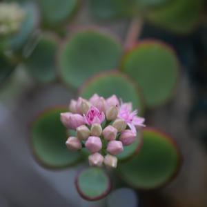多肉の花など