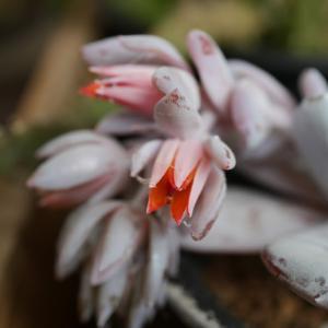 エケベリアに花