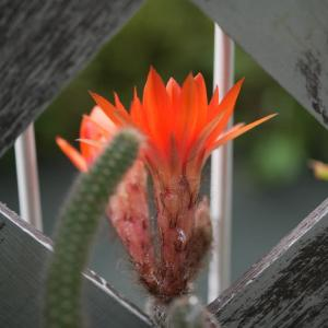 ヒモサボテンに花が