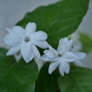 茉莉花が咲いた