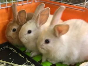2020 2月27日 入荷 ネザーサンド×ロップイヤー ウサギ(ノーザンみしま)