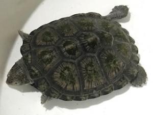 2020 7月4日 入荷 ノコヘリハコヨコクビガメ カブトニオイガメ(ノーザンみしま)