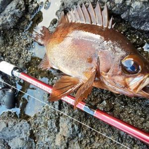 他魚種が乱れる春の釣り!久しぶりの磯へ行って来ました!