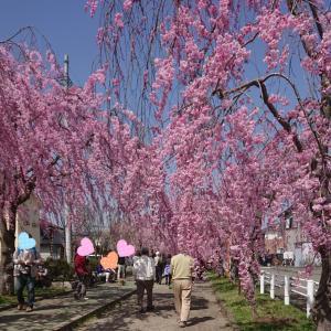 垂れ桜を見に