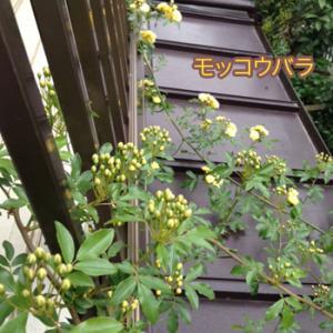 モッコウバラ咲く『いざかなや』 追記あり