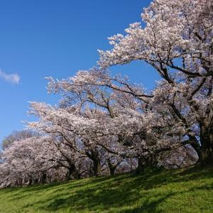 京都桜名所でぽかぽかの春を満喫