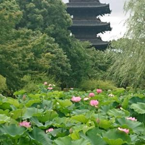 弘法大師のお寺で極楽浄土の蓮鑑賞 京都東寺