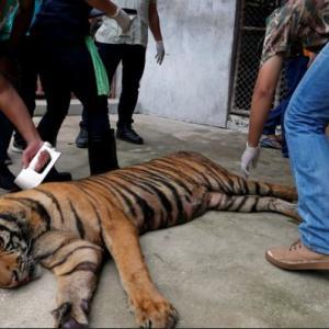 海外「動物園のトラがコロナウイルスに感染したそうだ」