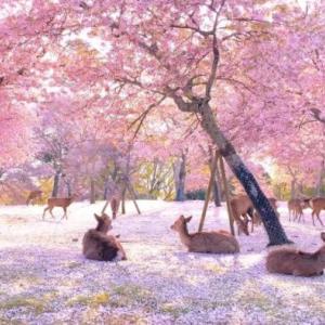 海外「日本では健康危機で観光客が激減した結果、鹿たちは満開の桜を楽しんでいるようだ!」