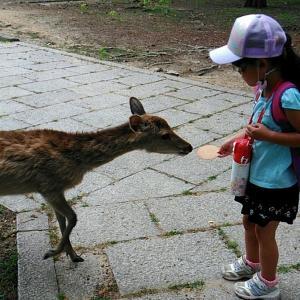 5歳の娘、奈良公園でシカと戯れる その2
