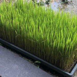 【保育園の食育】プランターで稲を育てよう
