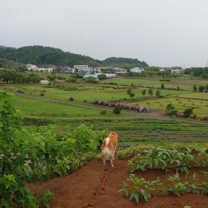 【埼玉、美里町】朝のひま散歩で猪俣百八燈を駆け回る。2020年6月23日(火)