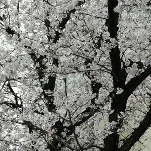 『 桜と花粉症と魔女狩り? 』