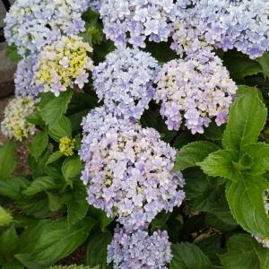 『 お庭の紫陽花 』
