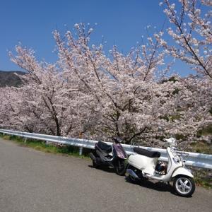 和歌山のとある桜並木