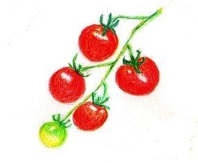 去年のトマトの実から芽が出て苗になりました
