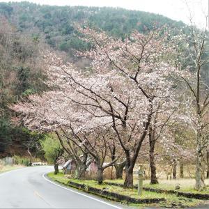 ただただ、桜を眺めながらドライブ その2