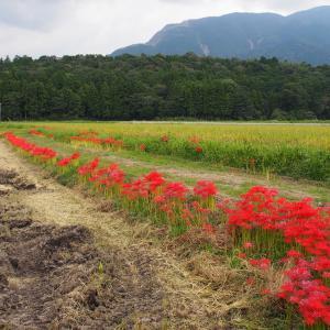 畦道に咲くヒガンバナ