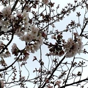 2018桜咲く
