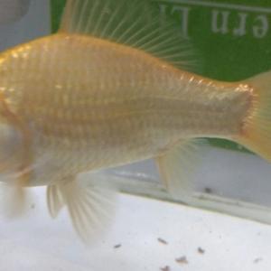 3代目金魚