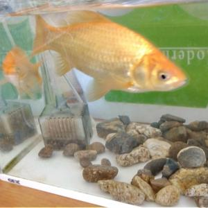金魚のお土産