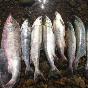 鮭ラッシュ‼️‼️