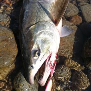 鮭ラッシュpart2‼️‼️