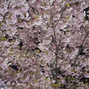 夜桜と花より団子の寿司カフェ!?ランチ