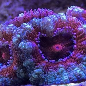 カクオオトゲキクメイシをお迎えしました。極彩色のカラフルなサンゴです。