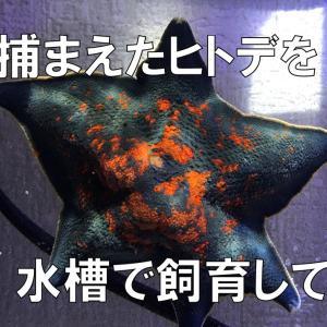 子供が海で捕まえたヒトデを、海水水槽で飼育してみる事にしました