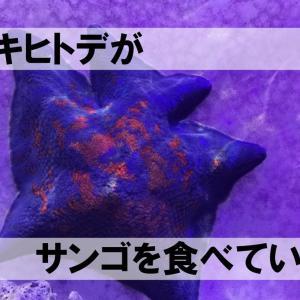 イトマキヒトデのサンゴ食害について