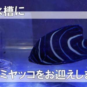 サザナミヤッコの幼魚をお迎えしました